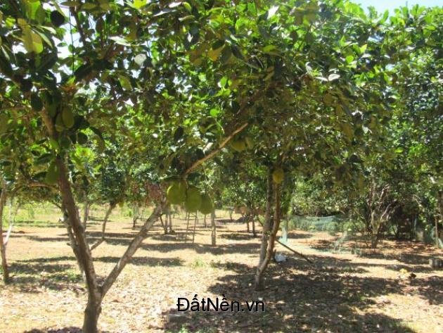Cần bán 3240m2 đất vườn cây ăn quả ở Bình Chánh, tp.HCm. 3,8 tỉ.