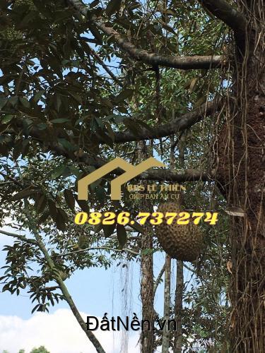 Vườn cây ăn trái phường Tân An Thủ Dầu Một(Giáp sông Sài Gòn). DT 1.543m2. Giá 3.5tr/m2. LH 0826737274